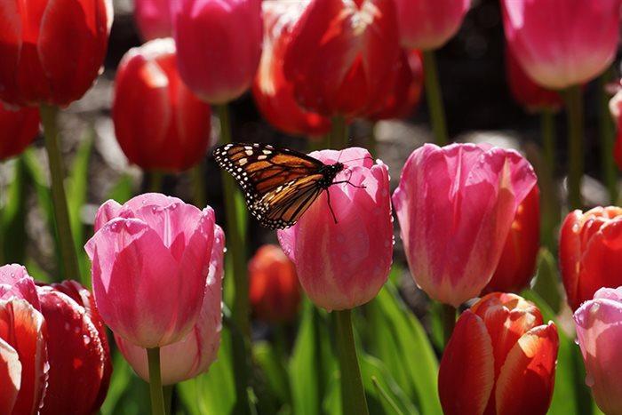 Vrtnarstvo Tulipan, Robert Pustinek s.p.