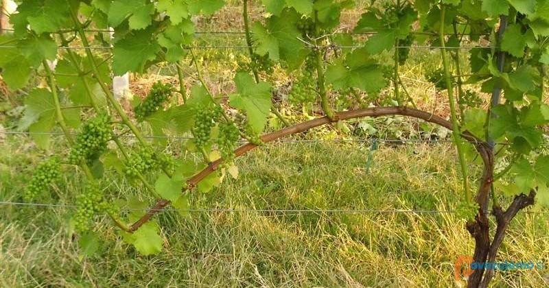 Kmetija Camplin - Vinograd