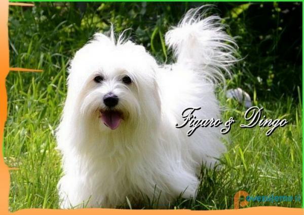 Psarna Figaro & Dingo