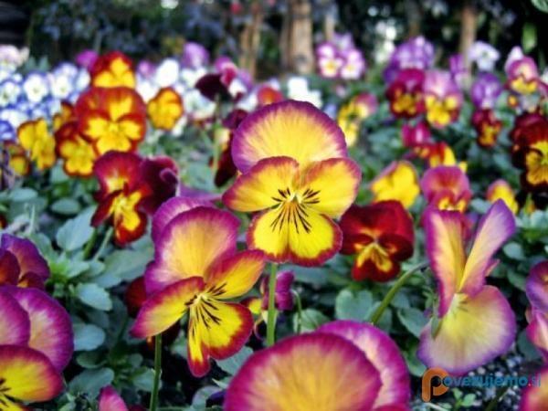 vrtnarstvo-moretini