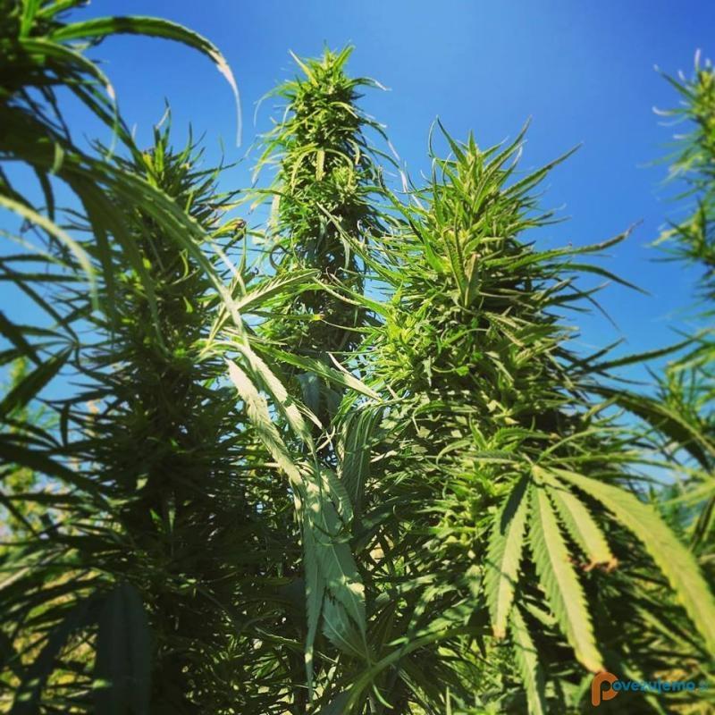 Agrosloven z.o.o., zadruga za razvoj pridelave in predelave konoplje