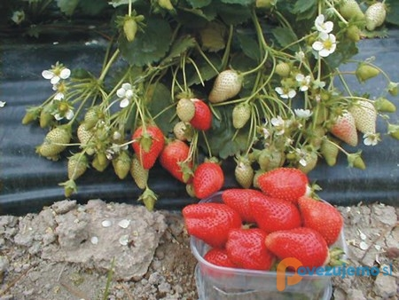 Sivis d.o.o., pridelava in prodaja sadik jagod in špargljev ter jagodičevja