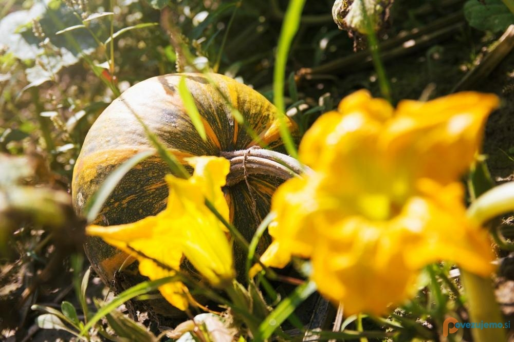 Kmetija Camplin - Buča, cvet na njivi